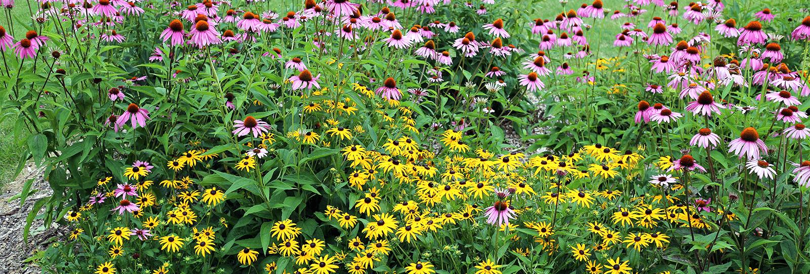 plants for all seasons drought tolerant native plants coneflowers