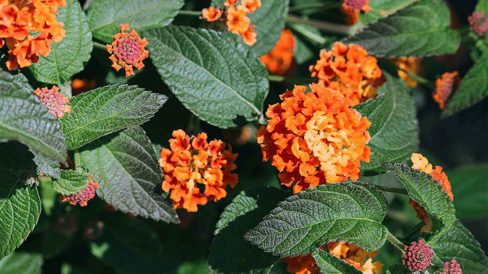 plants for all seasons drought tolerant native plants lantana