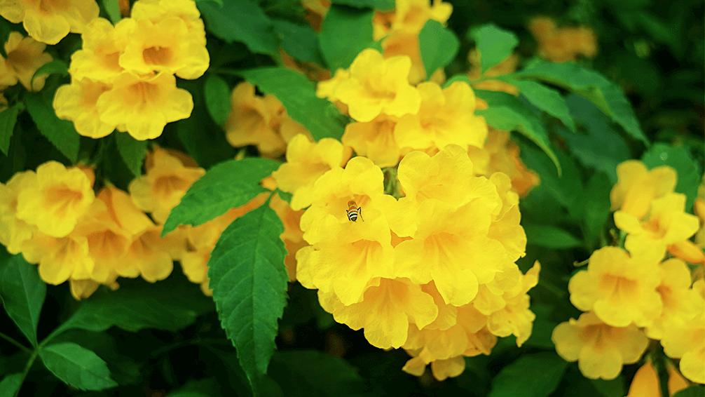 plants for all seasons drought tolerant native plants yellow esperanza
